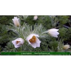 Pulsatilla vulgaris 'Alba'...