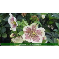 copy of Helleborus  o....