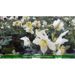 "Nymphaea Pygmaea Rubra"" waterlelie"""