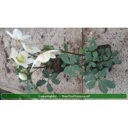 "Nymphaea Pygmaea Helvola"" waterlelie"""