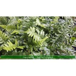 Eikvaren Polypodium vulgare