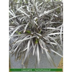 Ophiopogon Niger
