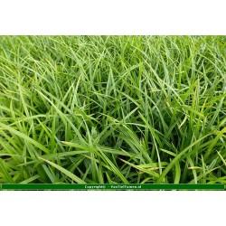 Carex morrowii Zegge
