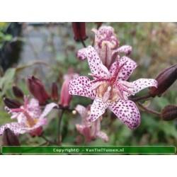Armeluisorchidee Tricyrtis...
