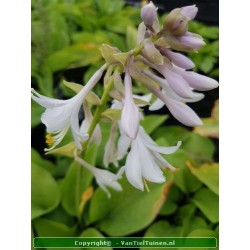 copy of Hosta sieb. Elegans...