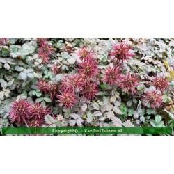 Acaena microphylla...