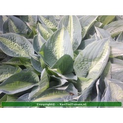 copy of Hosta sieboldiana...