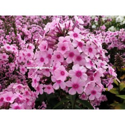 copy of Phlox paniculata...