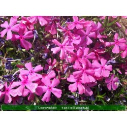 Phlox subulata 'Mac...