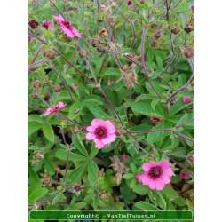 Potentilla nepalensis Miss...
