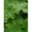 Lampenpoetsersgras, Pennisetum alopecuroides 'Hameln' siergras