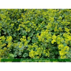 copy of Alchemilla mollis...