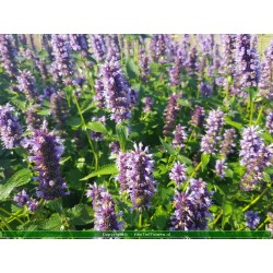 copy of Agastache 'Blue...