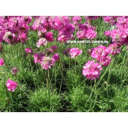 copy of Armeria maritima...