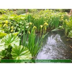 gele lis iris