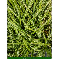 Set 12 stuks  Carex morowii 'Ice Dance'