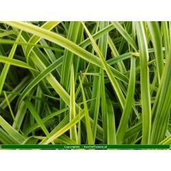Set 12 stuks  Carex morowii 'Variegata'