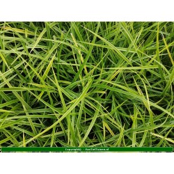 Set 12 stuks  Carex morowii zegge