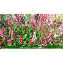 Persicaria affinis...