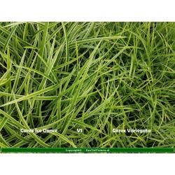 Set 12 stuks  Carex oshimensis 'Evergold'