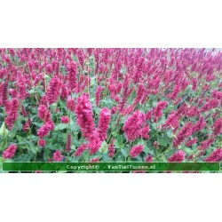 copy of Persicaria ampl....