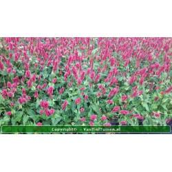 copy of Persicaria ampl....