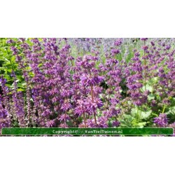 Salvia verticilata 'Purple...
