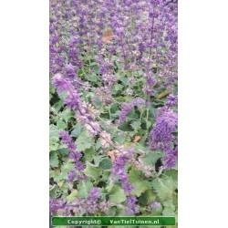 Salvia verticilata 'Purple...
