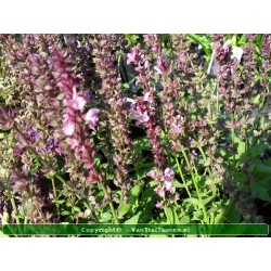 Salvia nemerosa 'Rose...