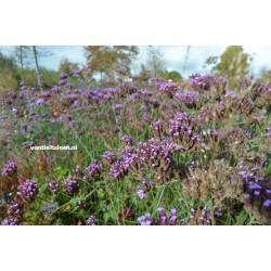 Verbena bonariensis ijzerhard