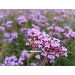 copy of Verbena bonariensis...