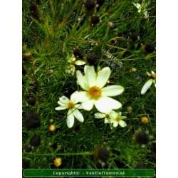 Coreopsis verticilata...