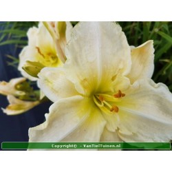 Hemerocallis Gentle...