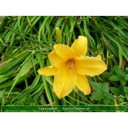 Hemerocallis hybride Stella...