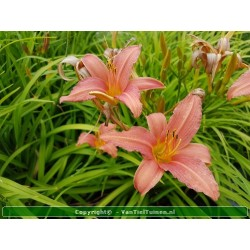 Hemerocallis Pink Damask...
