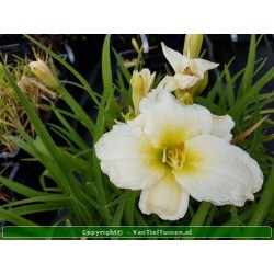 Hemerocallis artic snow...