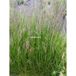 Set 12 stuks  Zegge Carex Irish Green