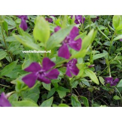 Vinca minor 'Atropurpurea'...