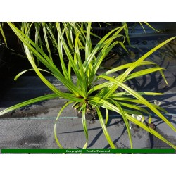 copy of Carex morrowii Zegge