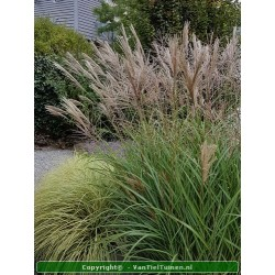 copy of Miscanthus sin....