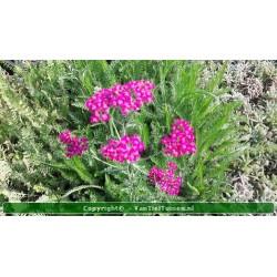 Achillea millefolium...
