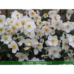 Anemone hybrida Honorine...