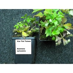 copy of Anemone hybrida...