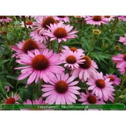 Echinacea purpurea 'Magnus'...