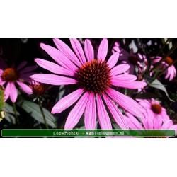Echinacea purpurea Rode...