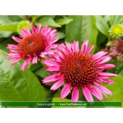 copy of Echinacea purpurea...