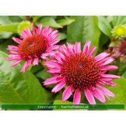 copy of Echinacea purpurea...