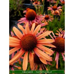 Echinacea Summer Coctail...