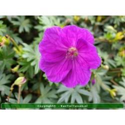 Geranium sanguineum Ooievaarsbekje