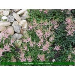 Astilbe simlicifolia...